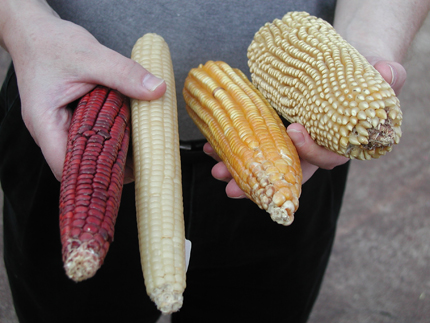 Corn cobs of different colors, size, shape!