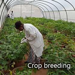 Crop breeding greenhouse and researchers