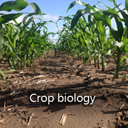 Crop biology corn roots and foliage