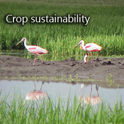 Crop sustainability spoonbills in rice field