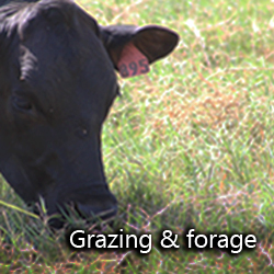 Grazing and forage cattle on Bermudagrass