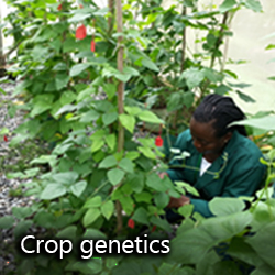 Crop genetics researcher with cowpeas, black-eyed peas