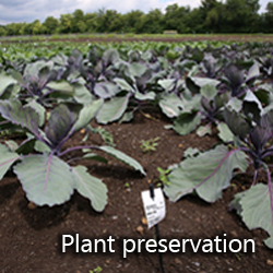 Plant preservation cabbage in research field