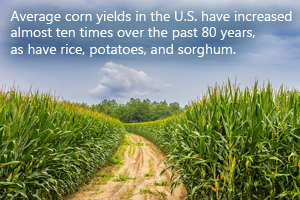 Average corn yields in the U.S. have increased almost ten times over the past 80 years, as have rice, potatoes, and sorghum