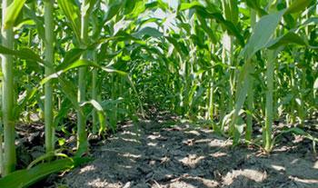 how to grow corn in granite soil