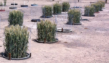 wheat microplots