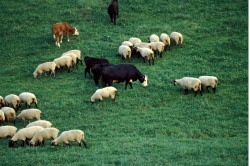 Sheep and Cattle Grazing Contributed by C. Teutsch