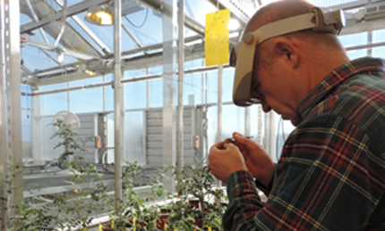 Plant breeder with chickpea flower