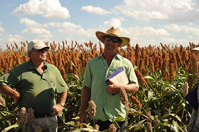 Researchers in commercial breeding nursery of sorghum