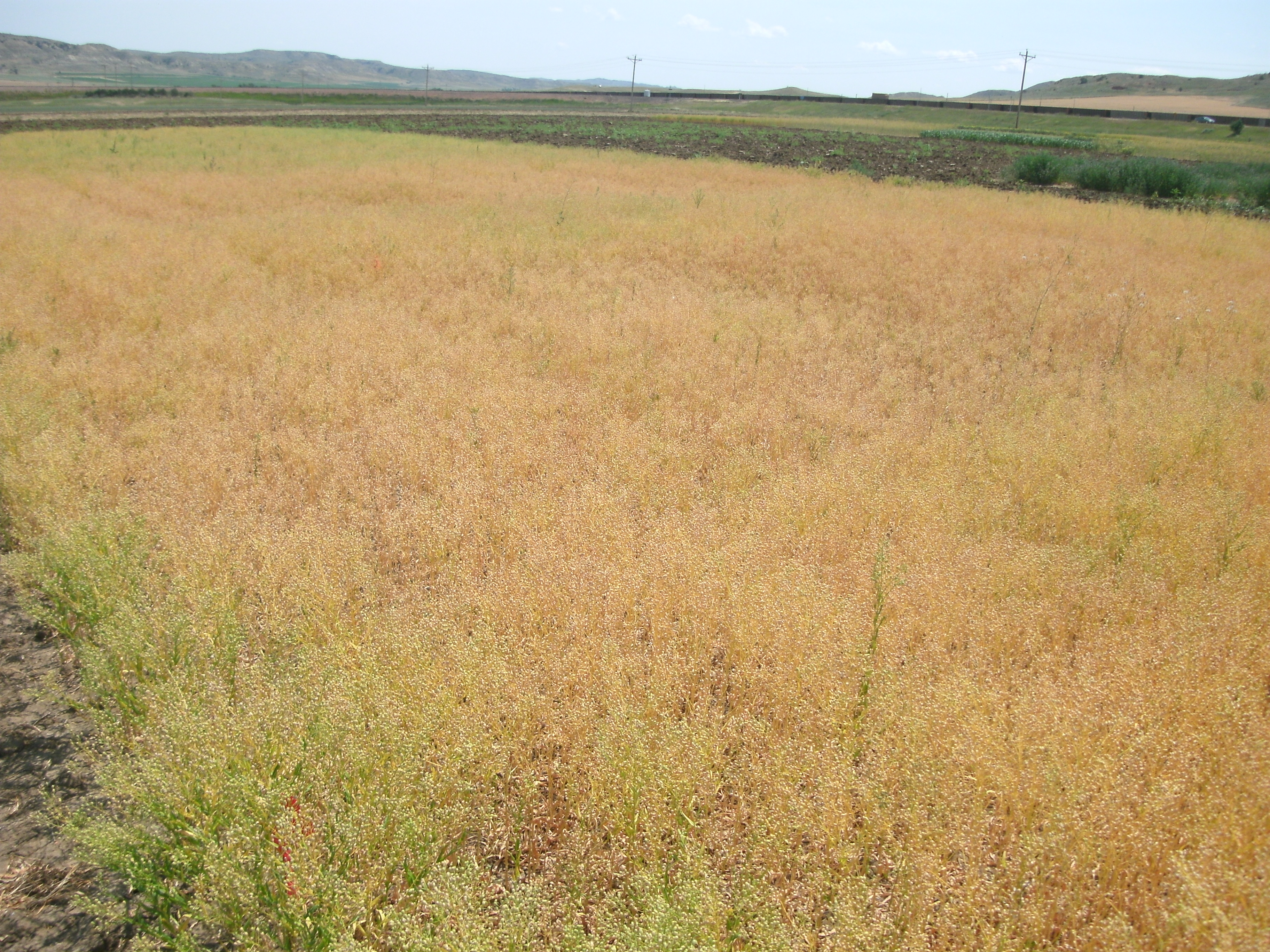 Camelina close to harvest