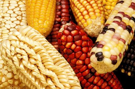 Foto de primer plano de una variedad de maíz: algo más amarillo, algo rojo, algo más blanco, algo con una variedad de colores en una sola mazorca y cada uno con un arreglo diferente de filas de semillas.