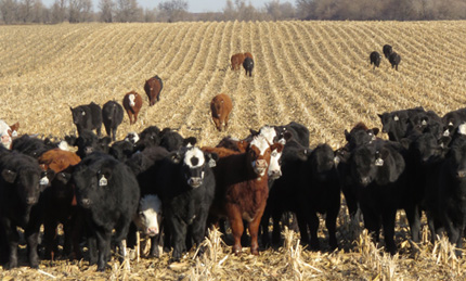 Cattle grazing on corn residue
